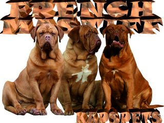 French Mastiff for sale